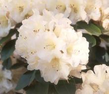 older flower cluster