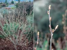 plant habit and buds, early spring