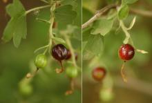 developing fruit