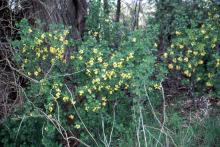plant habit, flowering in a hedgerow