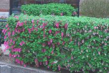 plant habit, flowering hedge