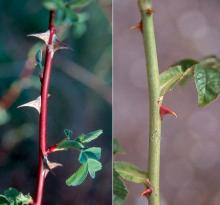 """stems and prickles (""""thorns"""")"""