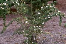single plant, flowering
