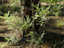 plant habit, small shrub