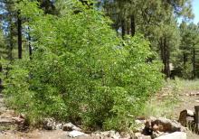 plant habit, shrub