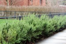 hedge, winter