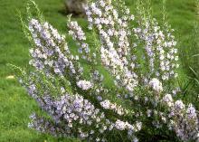 erect plant habit, flowering
