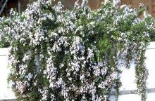 trailing plant habit, flowering