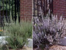 plant habit, late summer and next spring