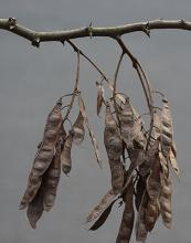winter, seed pods (fruit)