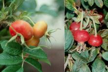 fruit (hips)