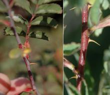 stem with thorns (prickles)