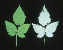 floricane leaves