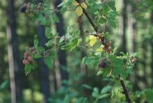 floricane, ripening fruit