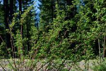 spring growth in habitat, floricanes