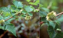 expanding leaves and deveoping fruit