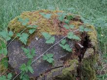 plant habit, stems (canes)