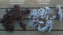 fruit cluster, comparison