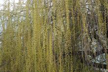 pendant branches and catkins