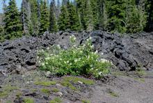 flowering, McKenzie Pass lava beds