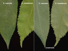 leaflets, comparison