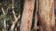 limbs, trunk, bark