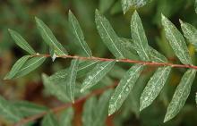 leafy shoot, fall