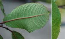 leaf, underside and margin