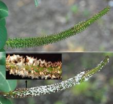 female catkin, before and at seed release