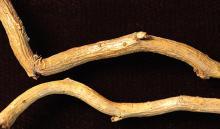 winter twig, buds