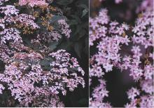flower clusters and flowers