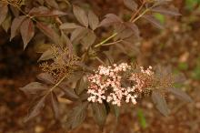 flower cluster and leaves