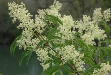 flower clusters and leaves