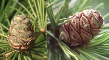 developing cone