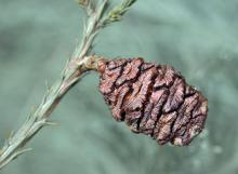seed cone at seed drop