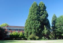 plant habit, ~93 years-old, Oregon State Univ. campus