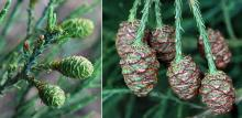developing female (seed) cones