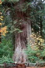 trunk,  (Big Tree: 300 ft high, 1500 years old)