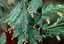 branchlets and male cones
