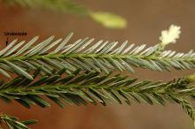 leaves (needles)