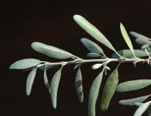 leafy shoot, underside