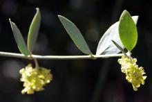 male flowers