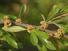 leaves and unopened flower clusters