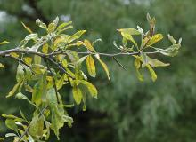 leafy branch, with thorn