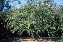 plant habit (Dyck Arboretum of the Plains, Hesston, KS)