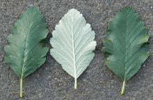 leaves, upper and lower side