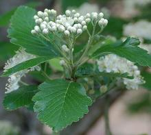 developing flower cluster and leaves