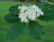 mature flower cluster and leaves