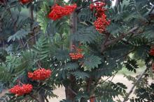 foliage and fruit clusters