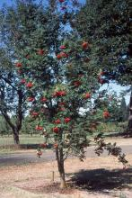 young, heavy fruiting tree, summer